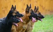Hundeeinsatz von D.S.O